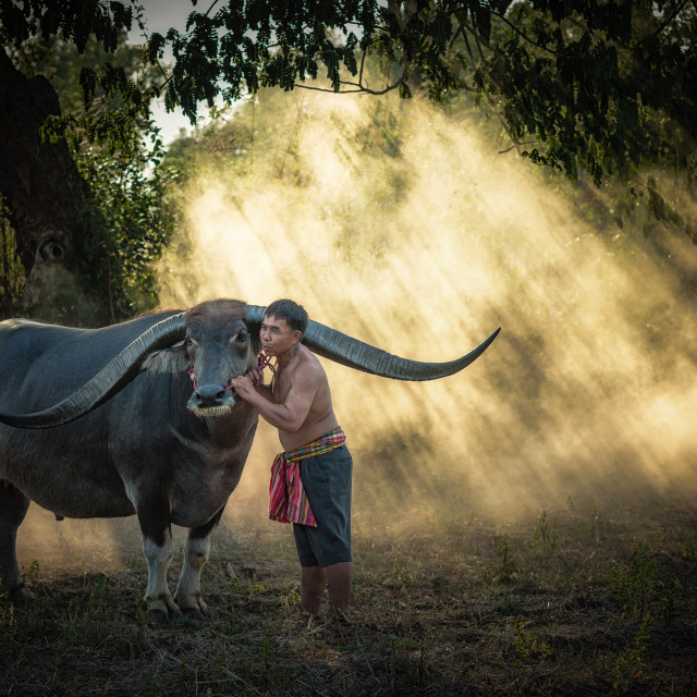 """Asian farmer with buffalo in the forest."" stock image"