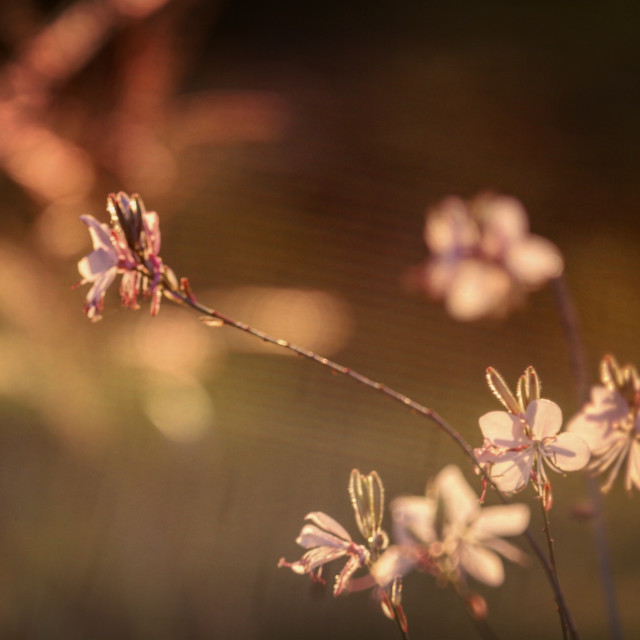 """Delicate stems at the golden hour"" stock image"