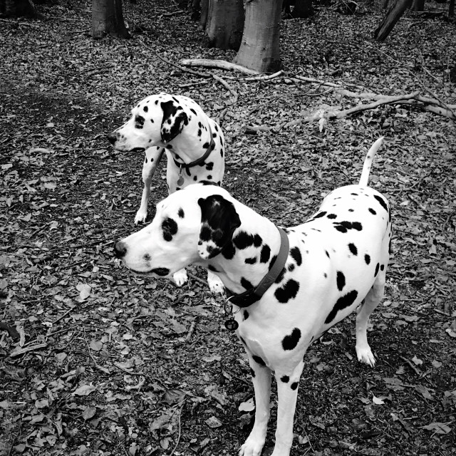 """Black and White image of two dalmatian dogs"" stock image"