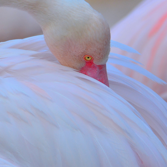"""Sleeping greater flamingo"" stock image"