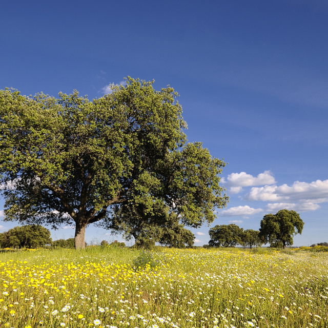 """Beautiful bright cork oak in bright meadow"" stock image"