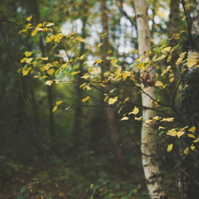 """Silver Birch"" stock image"