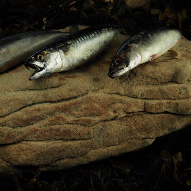 """""""Mackerel Still Life"""" stock image"""