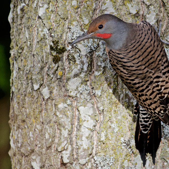 """""""Northern Flicker (""""red-shafted"""" male) in Richmond, BC, Canada"""" stock image"""