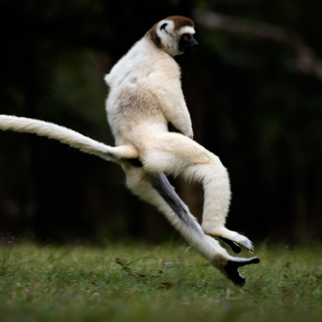 """Verreaux Sifaka In Madagascar."" stock image"