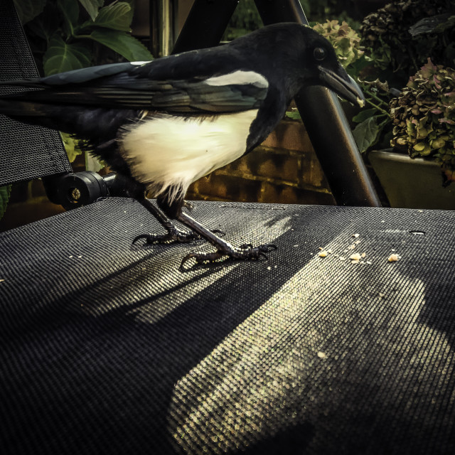 """Magpie Feeding"" stock image"