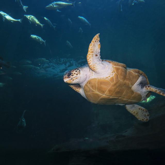 """""""Loggerhead Turtle"""" stock image"""
