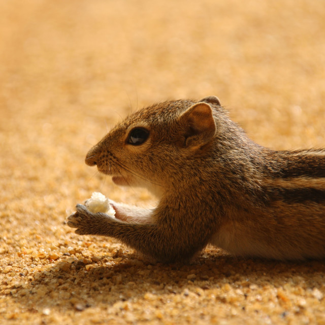"""indian-palm-squirrel2"" stock image"