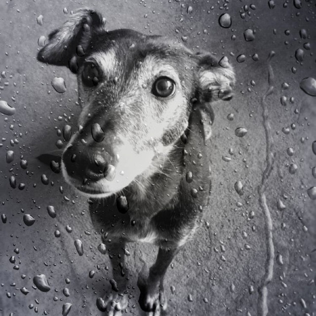"""Dog looking up through wet glass"" stock image"