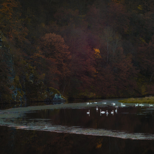 """""""Swans in autumn"""" stock image"""