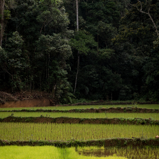 """Rice fields and rainforest , Madagascar"" stock image"