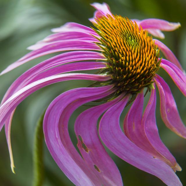 """Purple Coneflower"" stock image"