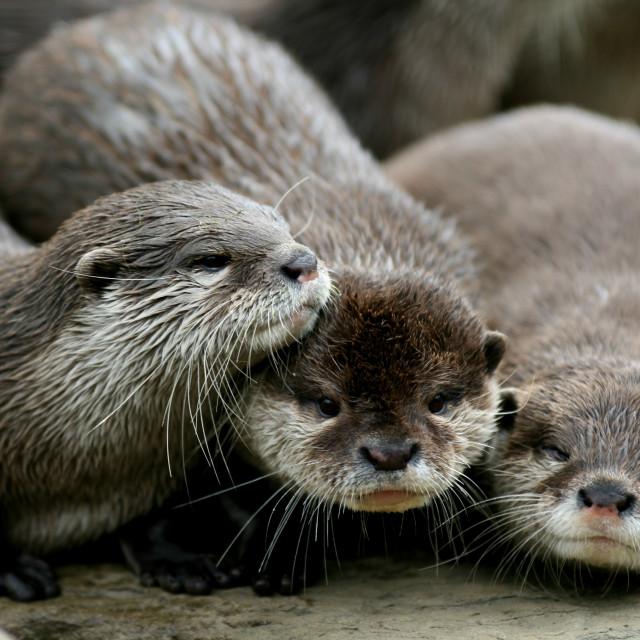 """Three otters huddled together"" stock image"