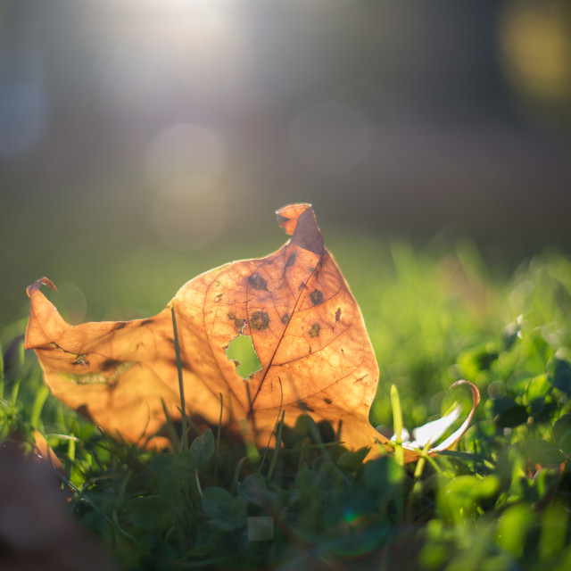 """""""yellow leaf on grass"""" stock image"""