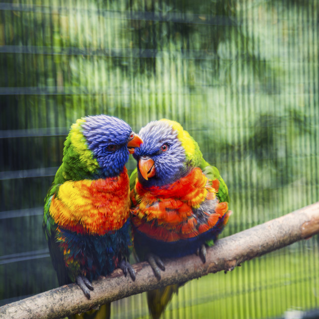 """Love Birds, New Zealand rainbow lorikeet"" stock image"