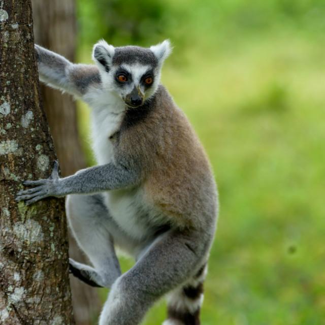 """Ring-tailed lemur in Madagascar"" stock image"