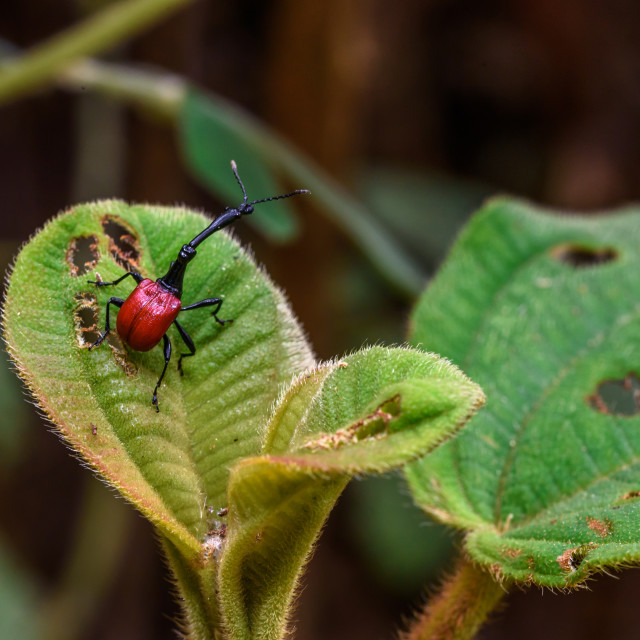 """Giraffe Weevil in Madagascar"" stock image"