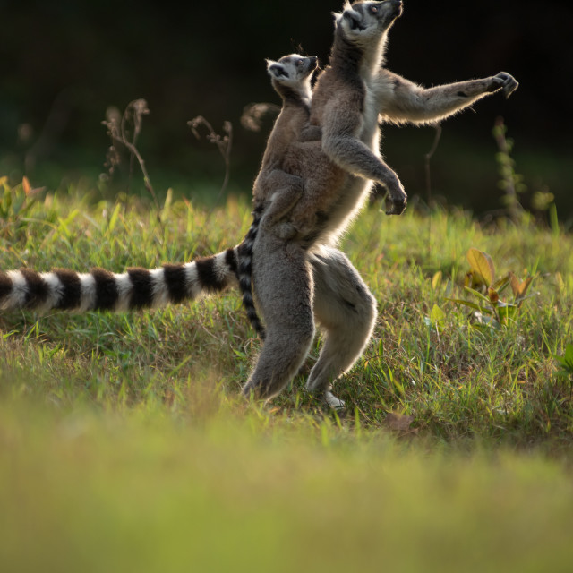 """""""Ring-tailed lemur with baby in Madagascar"""" stock image"""