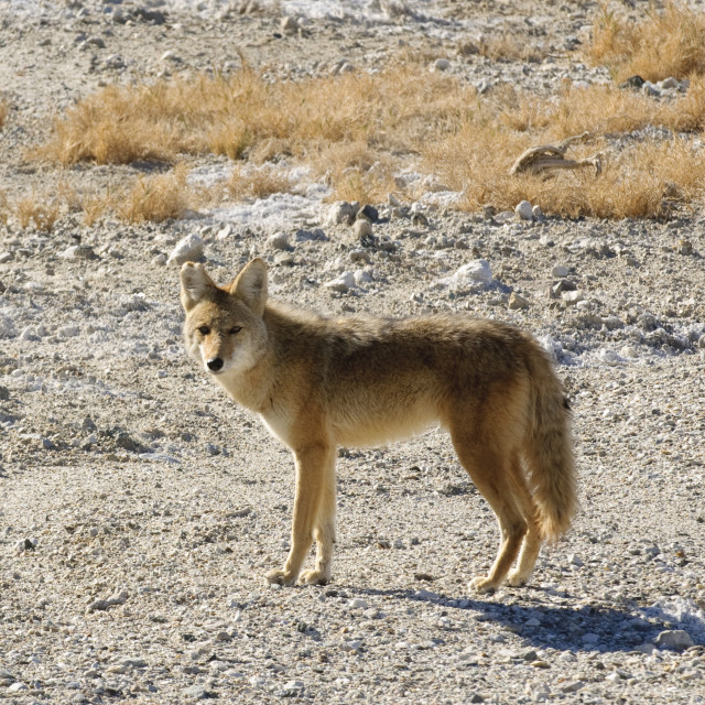 """Coyotes in Death Valley"" stock image"