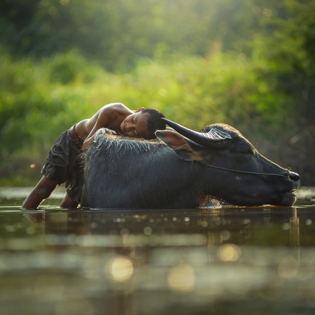 """Children playing with Buffalo on during sunset,thailand"" stock image"
