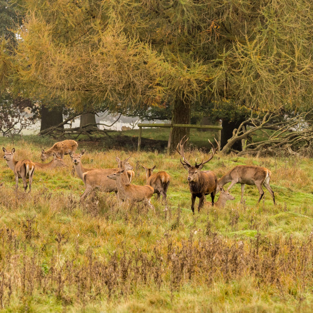 """Group of Red deer stag and his hareem, of does during the rutting season at..."" stock image"