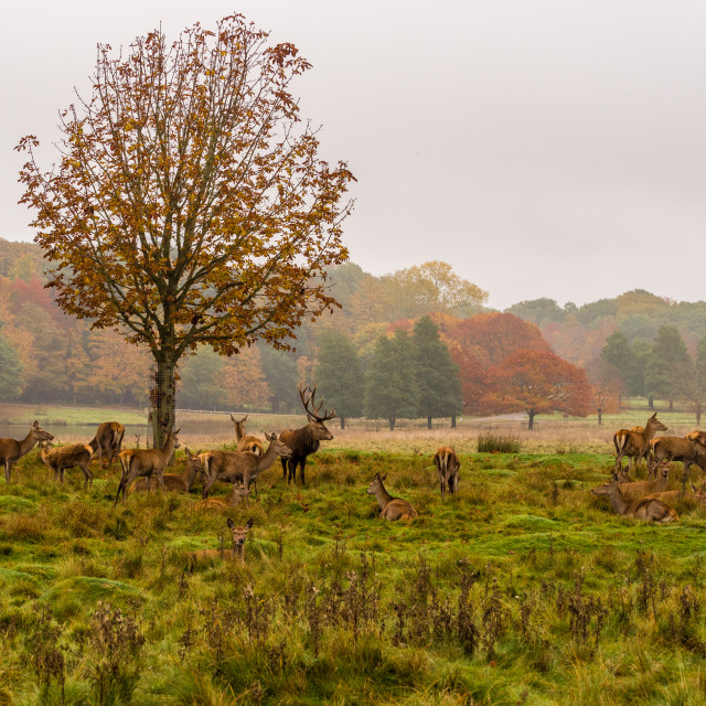 """""""Group of Red deer stag and his hareem, of does during the rutting season at..."""" stock image"""