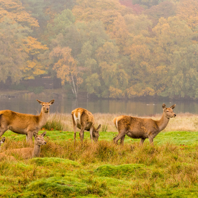 """""""Red deer does during the rutting season at Tatton Park, Knutsford, Cheshire, UK"""" stock image"""