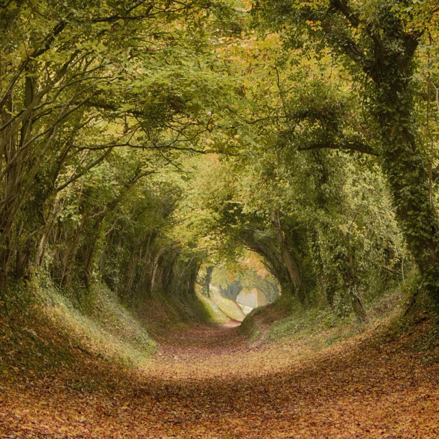 """Halnaker Tunnel Of Trees"" stock image"