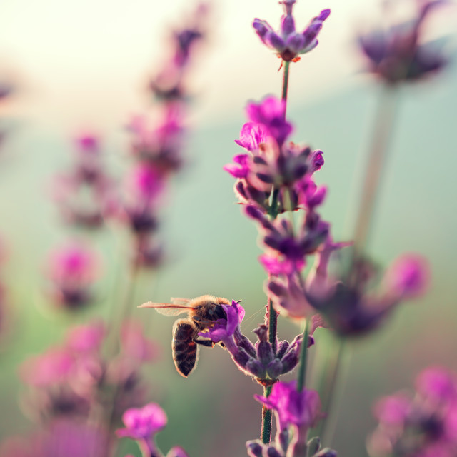 """Bee on lavender flower in the field"" stock image"