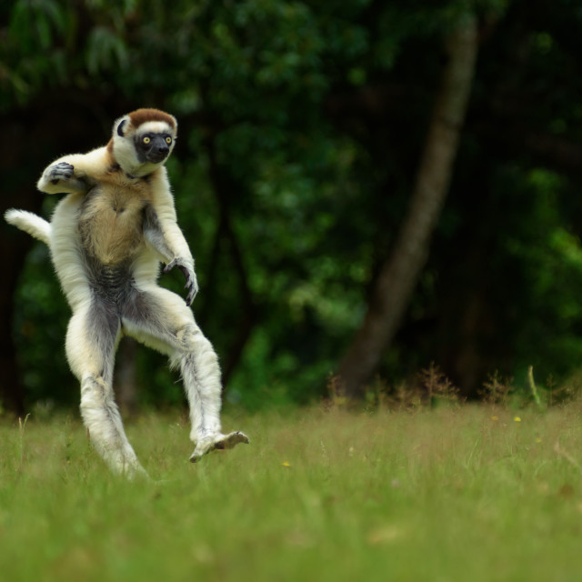 """Verreaux Sifaka hopping forward and sideways in Madagascar"" stock image"