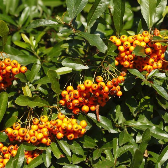 """orange forest berries"" stock image"