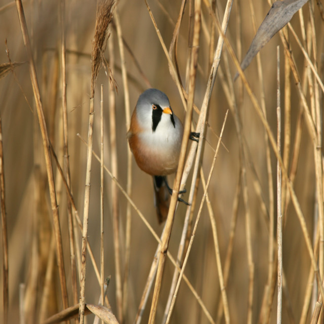 """Bearded tit on reed bed"" stock image"