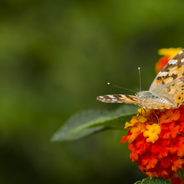 """Vanessa cardui, painted lady butterfly."" stock image"
