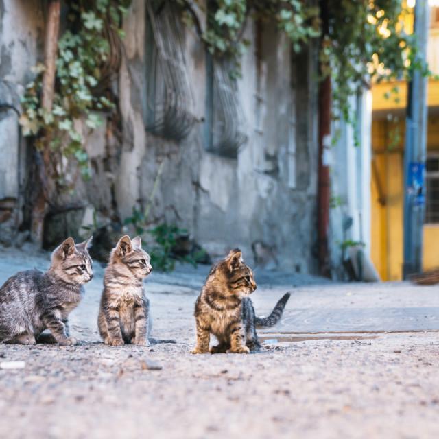 """Three street Kittens watching like a kitten runs away."" stock image"
