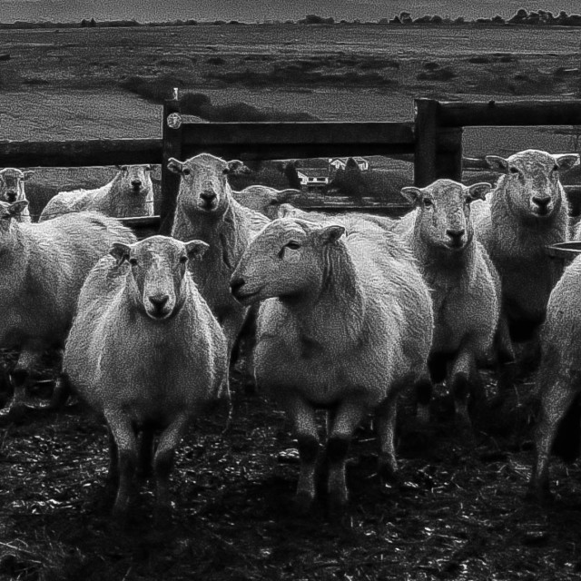 """""""Ewe's looking at you."""" stock image"""