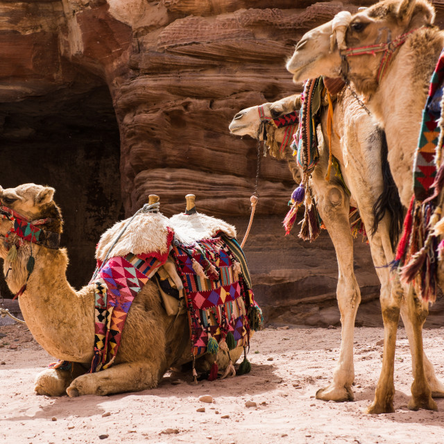 """Camels relaxing in Petra, Jordan"" stock image"