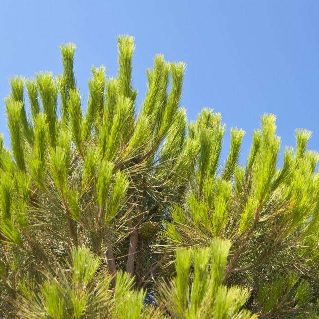 """Aleppo Pine"" stock image"