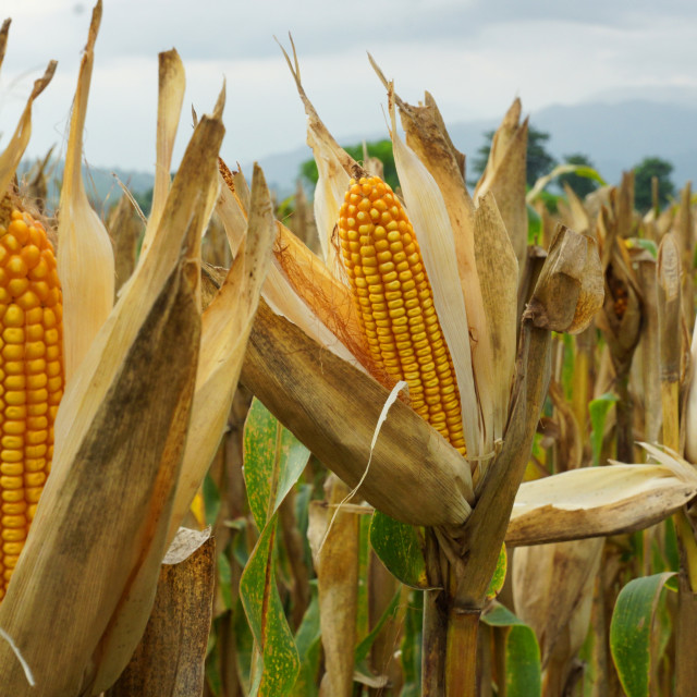 """BT Corn"" stock image"