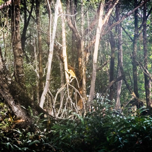 """Proboscis monkey at dawn"" stock image"