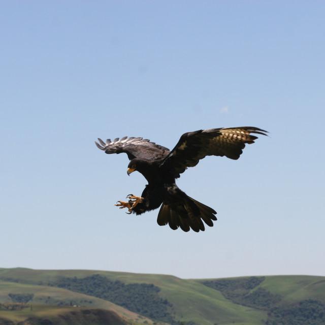 """Verraux's Eagle"" stock image"