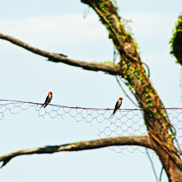 """Swallows on a fence"" stock image"