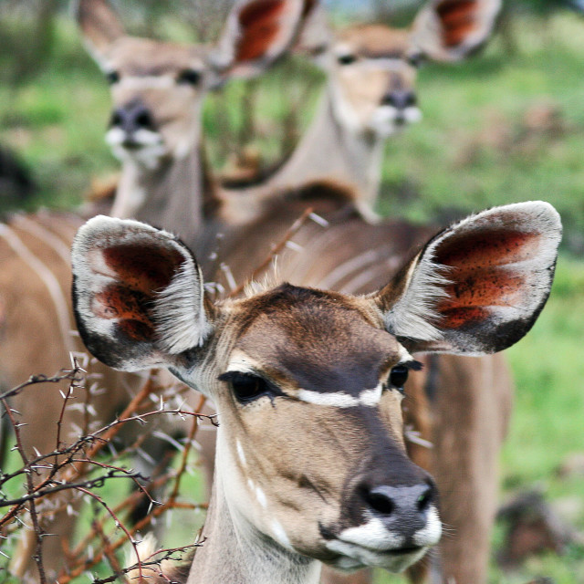 """Three Kudu"" stock image"