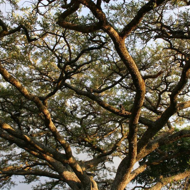 """""""Acacia canopy"""" stock image"""