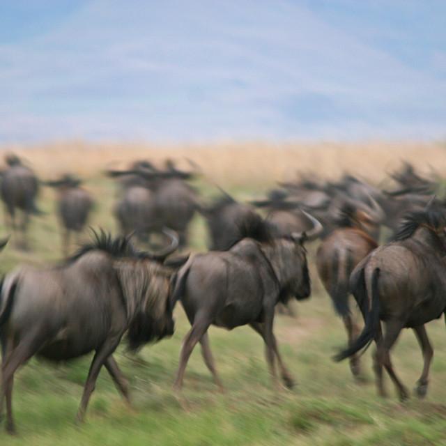"""Blue Wildebeest Stampede"" stock image"