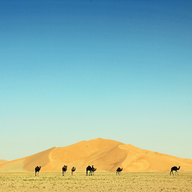 """Camels and dunes"" stock image"