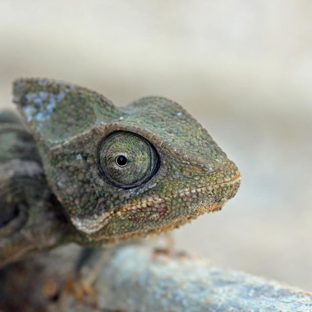 """Chameleon, Arabia"" stock image"