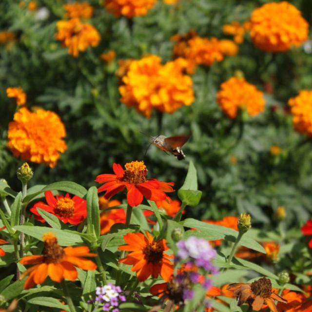 """Hummingbird moth, flowers"" stock image"