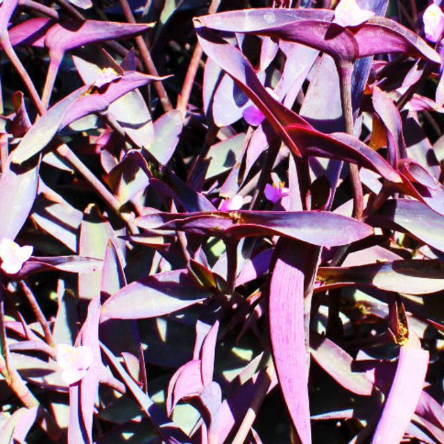 """Purple leaves"" stock image"