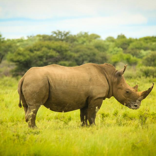 """""""White Rhino, Botswana"""" stock image"""