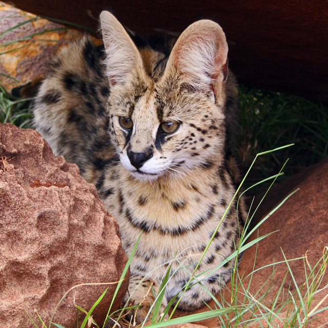 """Serval cat"" stock image"